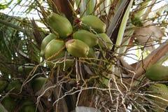 Noci di cocco su una palma immagini stock