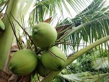 Noci di cocco sull'albero fotografie stock