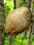 Noci di cocco sulla palma in Tailandia fotografia stock