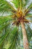 Noci di cocco tropicali Immagine Stock Libera da Diritti