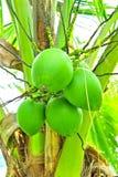 Noci di cocco verdi Immagine Stock Libera da Diritti