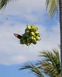 Noci di cocco verdi Immagini Stock