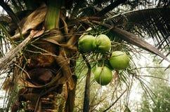 Noci di cocco verdi sulla palma Fotografia Stock Libera da Diritti