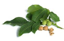 Noci e ramo con le foglie bianche  Immagini Stock