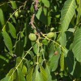 Noci non mature verdi sull'albero con il primo piano delle foglie, fuoco selettivo, DOF basso Immagini Stock