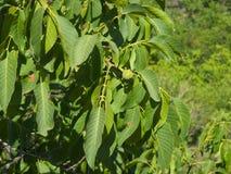 Noci non mature verdi sull'albero con il primo piano delle foglie, fuoco selettivo, DOF basso Immagine Stock Libera da Diritti