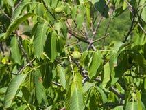 Noci non mature verdi sull'albero con il primo piano delle foglie, fuoco selettivo, DOF basso Immagine Stock
