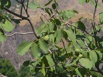 Noci non mature verdi sull'albero con il primo piano delle foglie, fuoco selettivo, DOF basso Fotografia Stock