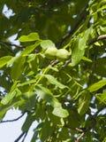 Noci non mature verdi sull'albero con il primo piano delle foglie, fuoco selettivo, DOF basso Fotografia Stock Libera da Diritti