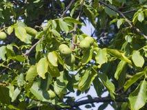 Noci non mature verdi sull'albero con il primo piano delle foglie, fuoco selettivo, DOF basso Fotografie Stock Libere da Diritti