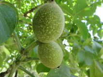 Noci. Not yet ripe nuts have this green and morbid appearance and logically not yet edible Stock Image