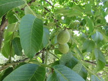 Noci. Not yet ripe nuts have this green and morbid appearance and logically not yet edible Stock Photo