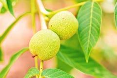 Noci verdi che crescono su un albero Immagini Stock Libere da Diritti