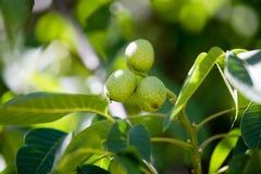 Noci verdi su un albero nella natura Immagine Stock