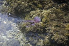 Noctiluca Pelagia, Mauve жало, медуза от Эльбы, Италии Стоковые Изображения