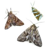 Noctiud moths Royalty Free Stock Photo