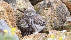 Noctua d'Athene de deux jeune petits hiboux jetant un coup d'oeil hors d'un trou dans les pierres naturelles et le déplacement clips vidéos