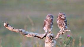 Noctua d'athene de deux jeune petits hiboux sur une branche sèche On est se tient, les deuxièmes arrivées banque de vidéos