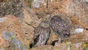 Noctua d'Athene de deux le jeune petits hiboux ouvrent leurs ailes près de leur trou dans les pierres naturelles banque de vidéos