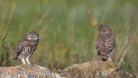Noctua d'athene de deux le jeune petits hiboux tient sur les pierres naturelles, écarte ses ailes et déplacement banque de vidéos
