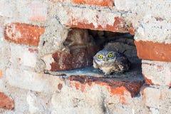 Noctua d'Athene de deux petits hiboux se cachant dans un mur de briques Photographie stock libre de droits