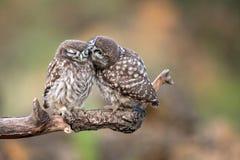 Noctua d'Athene de deux petits hiboux se reposant dans les paires sur un bâton Photo libre de droits