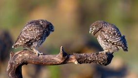 Noctua d'Athene de deux petits hiboux se reposant sur un bâton Images libres de droits