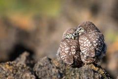 Noctua d'Athene de deux petits hiboux se reposant sur une roche pressée les uns contre les autres Photo stock