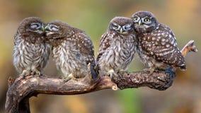 Noctua d'Athene de quatre petits hiboux se reposant dans les paires sur un bâton Images stock