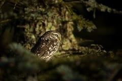 Noctua do Athene A coruja pequena é espalhada durante todo Europa imagens de stock royalty free