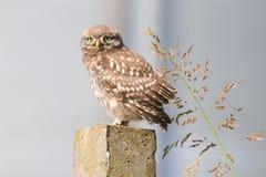Noctua do Athene da coruja pequena e lâmina de grama engraçados Fotografia de Stock Royalty Free