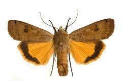 Noctua pronuba. Moth Large Yellow Underwing (Noctua pronuba) spreaded Stock Photo