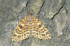 Noctuid Stock Images