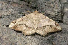 Noctuid Royalty Free Stock Photo