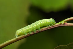 Noctuid caterpillar Royalty Free Stock Photos