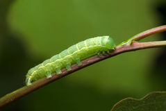 Noctuid caterpillar Stock Images