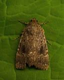 Noctuidae Amphipyra berbera Stock Images