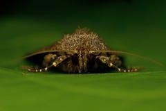 Noctuidae Amphipyra berbera Royalty Free Stock Photo