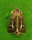Noctuidae Cerapteryx graminis Lizenzfreie Stockfotografie