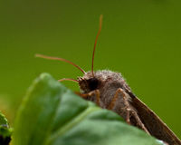 Noctuidae Orthosia-gothica auf Blatt stockfotografie