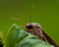 Noctuidae Orthosia gothica on leaf Stock Photography