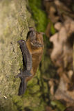 Noctule común (noctula de Nyctalus) Foto de archivo