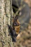 Noctule comune (noctula di Nyctalus) Immagine Stock Libera da Diritti