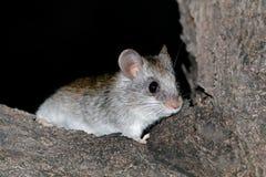 Nocturnal Acacia tree rat Royalty Free Stock Photo