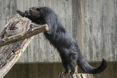 A nocturnal animal the binturong jumping to a rock. In broad daylight stock image