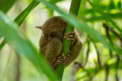 Nocturnal animal tarsier, with big round eyes, on a tree branch at day time. Nocturnal animal tarsier, with big round eyes, on a tree branch stock image