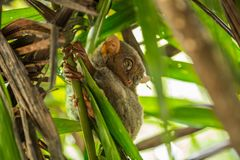 Nocturnal animal tarsier, with big round eyes, on a tree branch at day time. Nocturnal animal tarsier, with big round eyes, on a tree branch stock photo