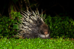 Nocturnal animals Malayan porcupine Stock Photos