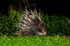 Nocturnal animals Malayan porcupine Stock Photos
