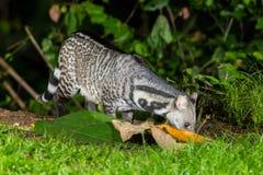 Nocturnal animals Viverra zibetha Royalty Free Stock Photos